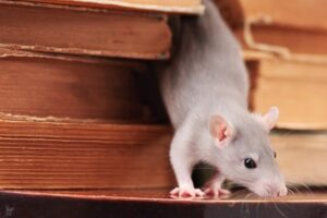 How to Tell If You Have a Rodent Infestation in Your Home