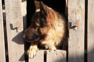 German Shepherd Shedding: How Much Do German Shepherds Shed?