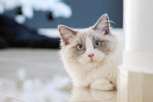Do You Really Want a Ragdoll Cat Breed?